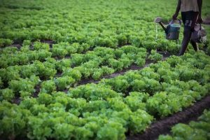 4648413_7_2bf6_une-plantation-de-laitue-a-cocody-une_49ed542d3bda51d4a4f24ee72ee3773e
