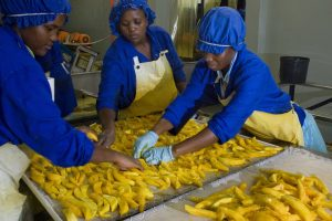 Staff placing freshly sliced mangoes on drying trays,. The fruit is dried for between 12 and 16 hours depending on water content  in large kilns. Mango drying facitly - Bavaria fruit  farm Hoedspruit  27th March 2008