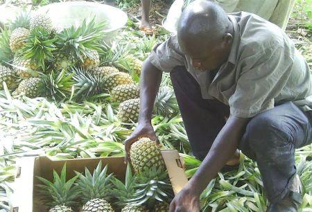 Togolese company earns € 2 6 million to produce premium pineapple